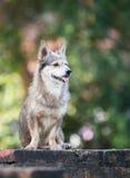 psi tajlandzki Obraz Royalty Free
