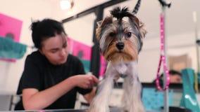psi target358_0_ Yorkshire Terrier Dostaje włosy cięcie Przy zwierzę domowe salonem zbiory wideo