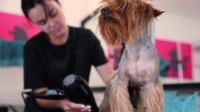 psi target358_0_ Zwierzęcia domowego Groomer osuszki Terrier Mokry włosy Z suszarką zbiory wideo
