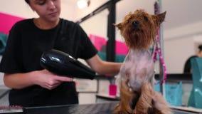 psi target358_0_ Zwierzęcia domowego Groomer osuszki Terrier Mokry włosy Z suszarką zbiory