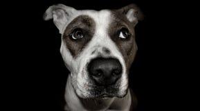 Psi terier Staffordshire Bull terrier obrazy stock