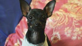 Psi Terrier szczeka i pozy na kamerze zbiory