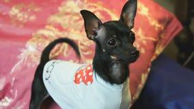 Psi Terrier szczeka i pozy na kamerze zbiory wideo