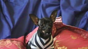 Psi Terrier szczeka i pozy na kamerze na błękitnej kanapie zdjęcie wideo