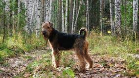 Psi traken Airedale Terrier chodzi w drewnach zbiory