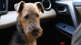 Psi traken Airedale Terrier czekać na właściciela w samochodzie zbiory