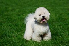 Psi traken Bichon Frise fotografia royalty free