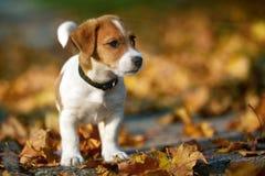 Psi traken dźwigarki Russell terier bawić się w jesień parku obrazy royalty free