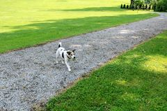 Psi traken Jack Russell iść właściciel z piłką w swój usta w parku fotografia royalty free
