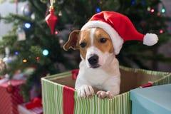 Psi traken Jack Russell pod bożymi narodzeniami zdjęcia royalty free