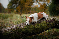 Psi traken Jack Russell Terrier Obrazy Royalty Free