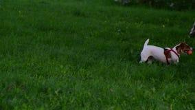 Psi traken Jack Russell Terrier przynosi piłkę kobieta zbiory wideo