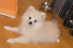 Psi traken niemiec Spitz Fotografia Royalty Free