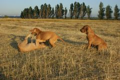Psi traken Pfil Brazilie na spacerze na letnim dniu zdjęcia stock