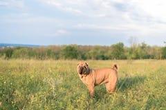 Psi traken Sharpei w polu w trawie przy zmierzchem zdjęcia stock