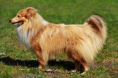 Psi traken Sheltie zdjęcie stock