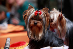 Psi traken Yorkshire Terrier Fotografia Stock