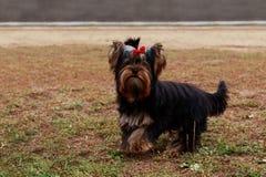 Psi traken Yorkshire Terrier Zdjęcie Stock
