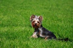 Psi traken Yorkshire Terrier obrazy stock