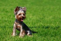 Psi traken Yorkshire Terrier obraz royalty free