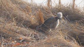 Psi traken Zachodni Syberyjski Laik tropi w suchej trawie zbiory wideo