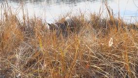 Psi traken Zachodni Syberyjski Laik tropi w suchej trawie zbiory