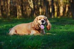 Psi trakenu amerykanin Cocker spaniel Fotografia Stock