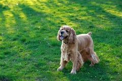Psi trakenu amerykanin Cocker spaniel Fotografia Royalty Free
