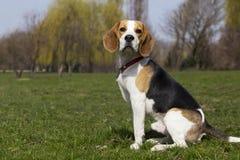 Psi trakenu beagle Fotografia Stock