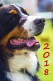 Psi trakenu Bernese góry pies Uroczy psi portret Symbol Zdjęcia Royalty Free