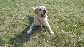 Psi trakenu labrador, golden retriever kłama na zielonej trawy gazonie lub Zwierze domowy podąża ruchu kamera Zdjęcia Royalty Free