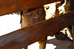 Psi trakenu mastifa spojrzenia nad ogrodzeniem obrazy stock