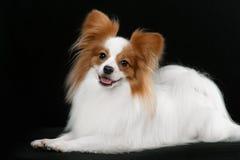 Psi trakenu papillon zdjęcia royalty free