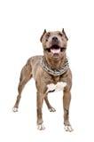 Psi trakenu pit bull Zdjęcia Stock