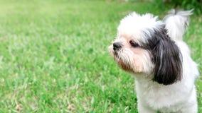 Psi trakenu Shih-Tzu Brown futerko Który jest w ogródzie trawa Obraz Stock