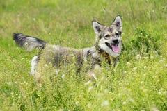 Psi trakenu Visigoth Spitz fotografia stock