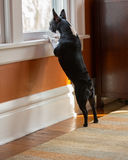Psi trwanie przyglądający okno out Fotografia Royalty Free