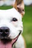 Psi twarzy spojrzenie przy tobą Zdjęcia Stock