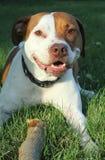 psi uśmiechnięty kij zdjęcie royalty free