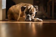 Psi Uśpiony - wygrzewający się w słońcu Obraz Stock