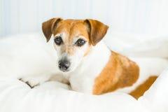 Psi uroczy Jack Russell terier patrzeje Baczny, fotografia stock