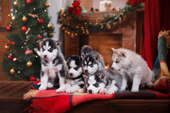 psi łuskowaty siberian Obraz Royalty Free