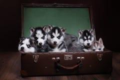 psi łuskowaty siberian Zdjęcia Stock