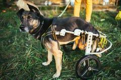 Psi wózek inwalidzki Zdjęcia Royalty Free