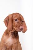 Psi węgra Vizsla pointer obraz stock