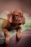 Psi węgra Vizsla pointer zdjęcia stock