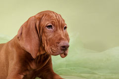 Psi węgra Vizsla pointer obrazy stock