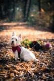 Psi Westie Obraz Royalty Free