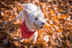 Psi Westie Obrazy Royalty Free