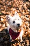 Psi Westie Zdjęcie Stock